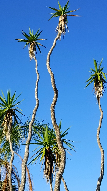 Searching-Palm-Tree