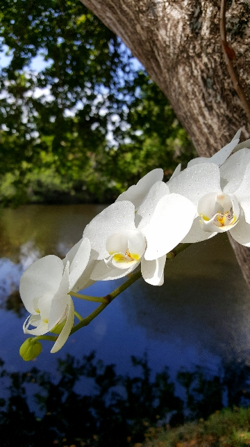 Orchids-growing-wild-in-the-tree