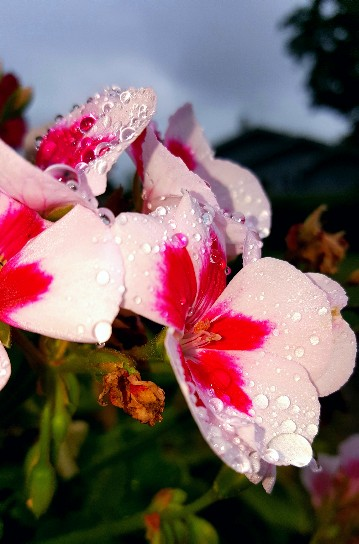 Crying-Red-and-White-Flower