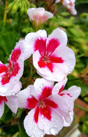 Red-and-White-Flower-with-Tears