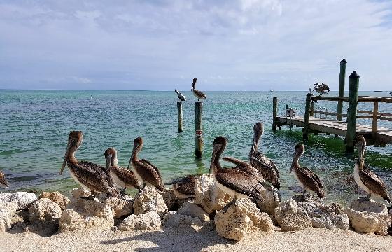 Meeting-of-pelicans